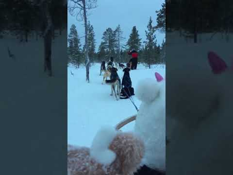 Lapland husky ride. Lisa driving sledge