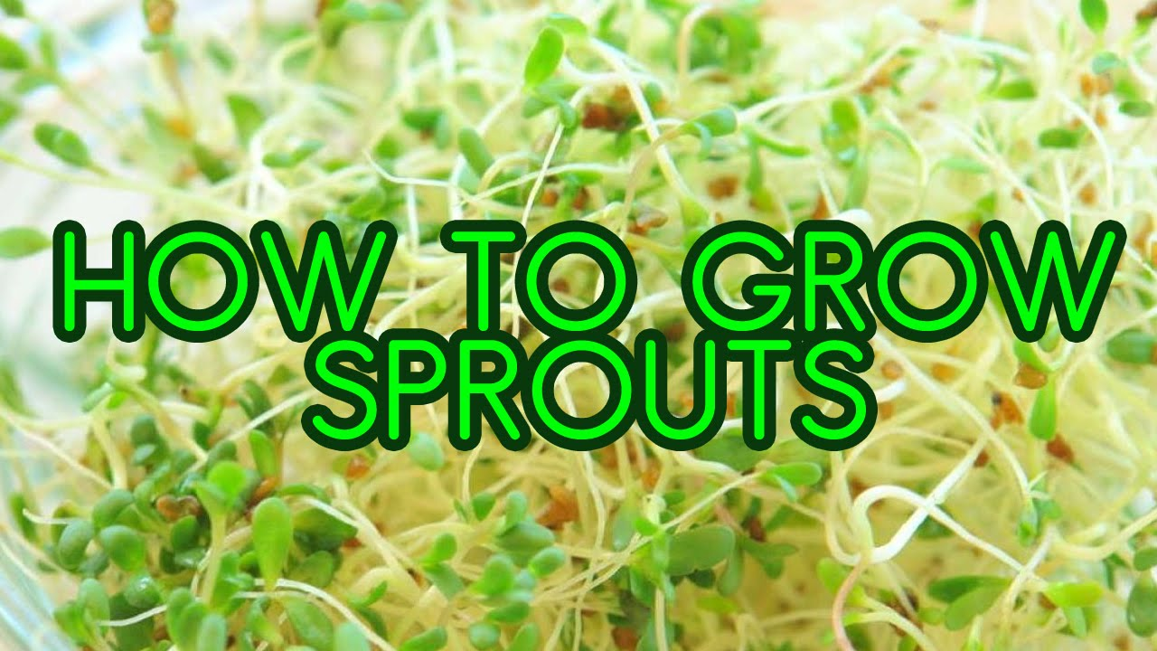 How To Grow Sprouts Alfalfa And Broccoli Sprouting In Mason Jars You