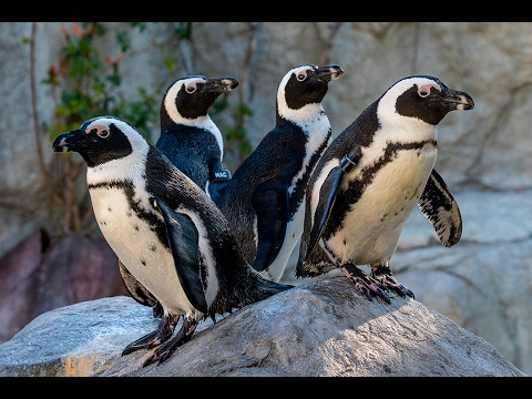 New Habitat for Endangered African Penguins