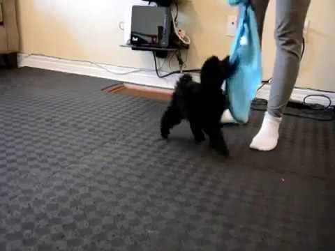 Miniature Poodle Puppy Playing with String Toy - 8 weeks old - 2017