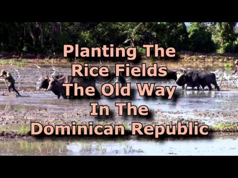 Rice Is A Big Deal In The Dominican Republic - Time Machine Trip To The Past