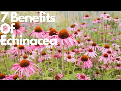 7 Benefits Of Echinacea