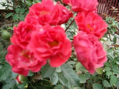 Лучшие сорта роз для сада: что посадить