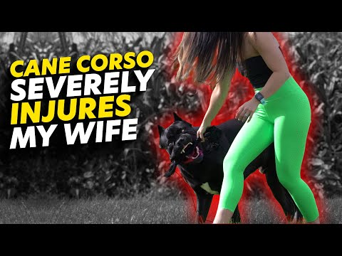 Cane Corso Severely INJURES My Wife - Dangerous!