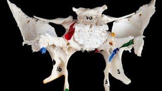 Анатомия клиновидной кости (os sphenoidale)