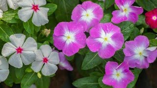 12 Espécies De Flores Para O Canteiro