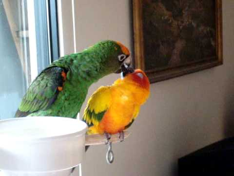 how to potty train your green cheek conure