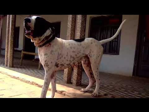 Beast Dog Pure  Bully Kutta Nangi -  Bulldog Barking !!