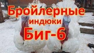 Бройлерные индюки породы (БИГ - 6)(, 2015-12-27T12:49:10.000Z)