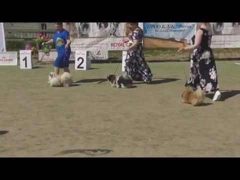 ПЕКИНЕС, финал выставки собак, разновидности окрасов