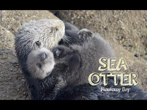 Sea Otter Baby in Monterey