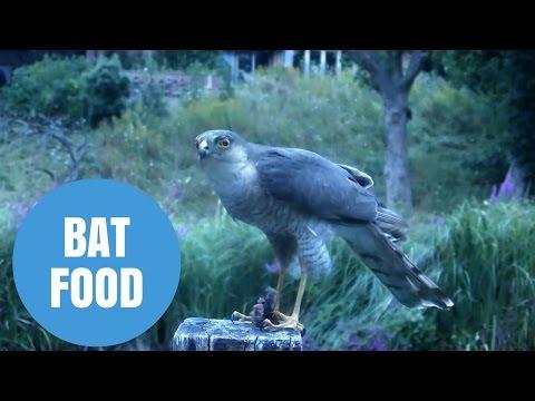 sparrowhawk-filmed-eating-a-bat