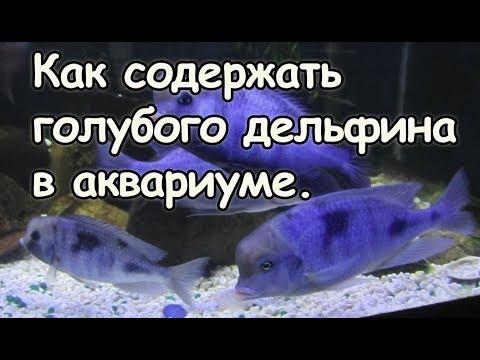 Голубой дельфин. Содержание мирных цихлид из оз. Малави.
