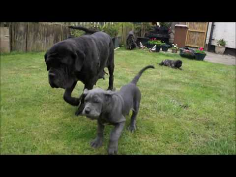 Puppies leaving! Neapolitan mastiff family All together