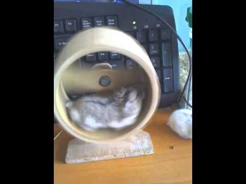 Chuột hamster của Tiến8489