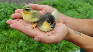 cutest-baby-ducklings-on-the-ranch