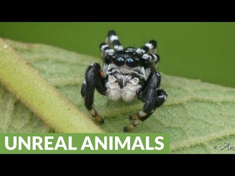 Tiny Jumping Spider Is Actually Pretty Cute