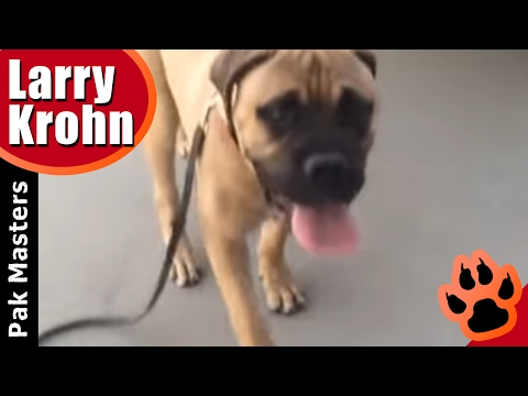 first-e-collar-session-with-6-month-old-bullmastiff-puppy-training