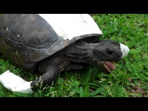 Grazing with Herus | Sea Turtle