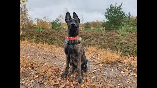Cash the 4 month old Malinois x Dutchie Puppy - 2 Weeks Residential Dog Training