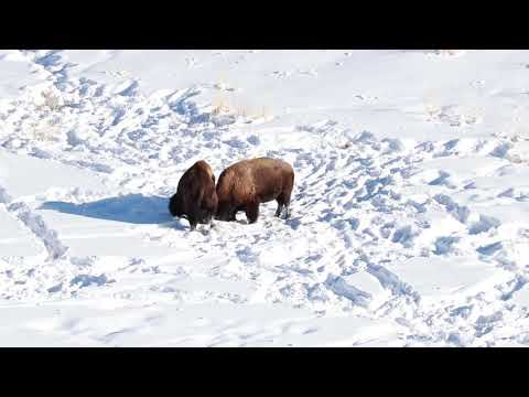 Bison During Winter in Yellowstone NP