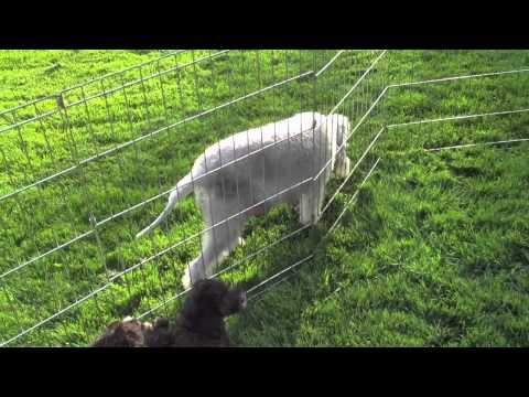Bedlington terrier puppies