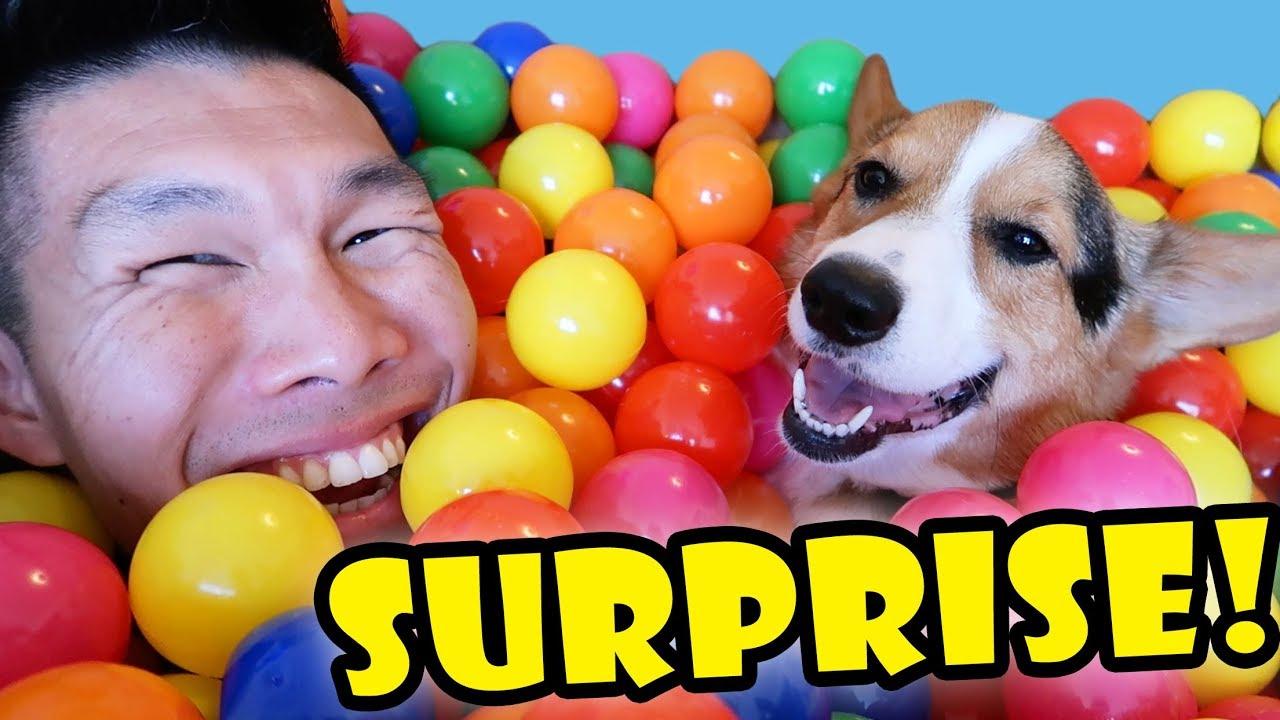 surprising-my-corgi-dog-w-1000-balls-life-after-college-ep-564