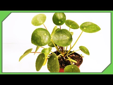 Buy A Pregnant Pilea Peperomioides - Tips Before You Buy