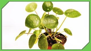 Before You Buy Pilea Peperomioides Watch This