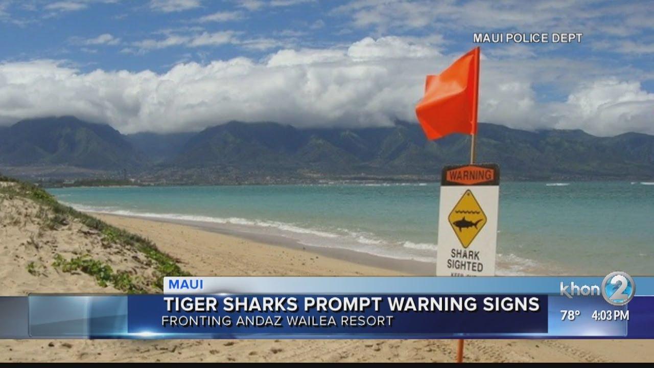 Tiger Sharks Spotted Off Keawakapu