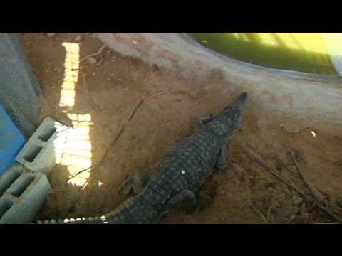 Watch : Un alligator sous la ville