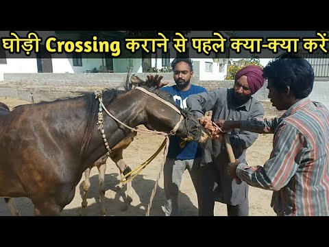 जानिए घोड़ी crossing कराने से पहले क्या -क्या करना चाहिए