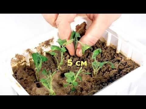 Хризантемы к Новому Году. Осеннее черенкование