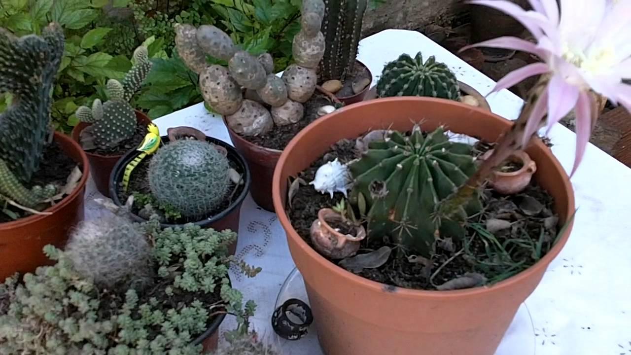 Cactus lindos con flores videos de jardin plantas for Jardines con cactus