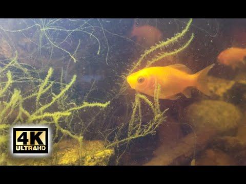 4K Goldfish Swimming In Natural Habitat - 1 Hour