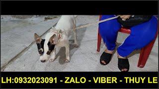 Chú Chó Bị Bắt Trộm Bị Kéo Lê Lết Trên Đường Khiến Ai Xem Cũng Bức Xúc  Không Cầm Được Nước Mắt...!