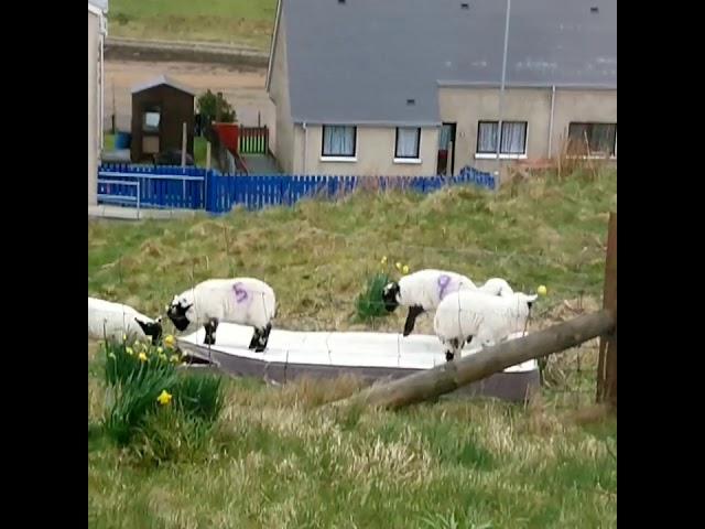 Lambs Enjoy Jumping on Discarded Mattress