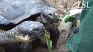 New Galapagos tortoises Polly and Prescilla settle in at ZSL London Zoo