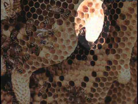 Sữa Ong Chúa là gì? Quy trình sản xuất sữa ong chúa