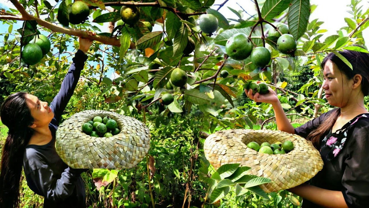 Picking Fresh Guava | Chicken Cooked On Stone DELICIOUS! | LIFE IN THE PHILIPPINE COUNTRYSIDE
