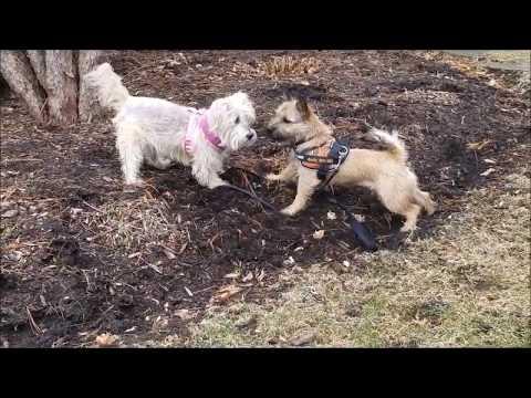 Maxine  -   Inspirational senior Cairn Terrier