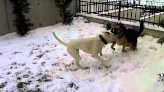 Tyke & Dost Güreşiyor - American Bulldog Vs German Shepherd