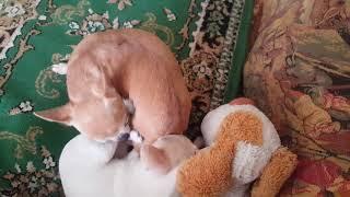 Невозмутимый кот и мини чихуахуа Мими и Лола☺