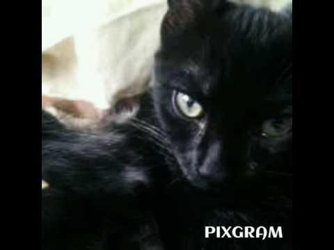 My Bombay Cat