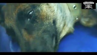 """Трогательно. Видео """"собачья любовь"""" (до слёз) - смотреть до конца. Увидел сам, покажи другому!"""