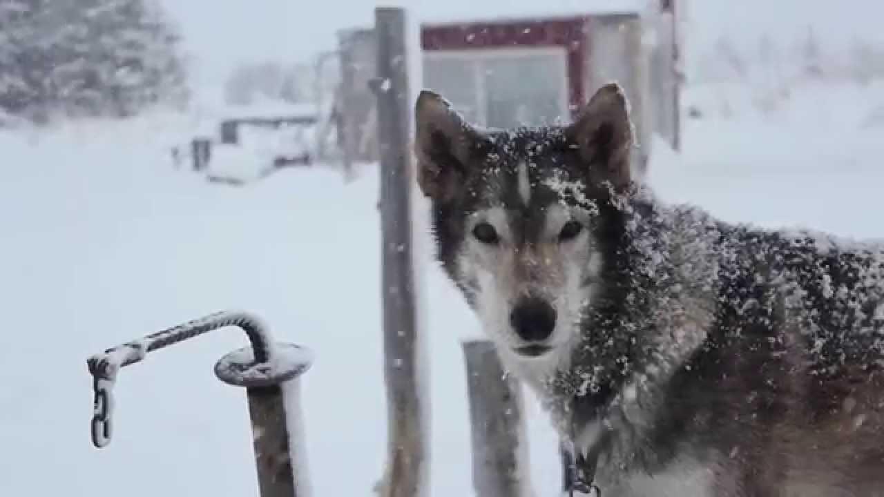 Howling Husky Homestead YouTube - Husky homestead