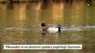 Pibeand - den fløjtende smukke and - Danmarks fugle