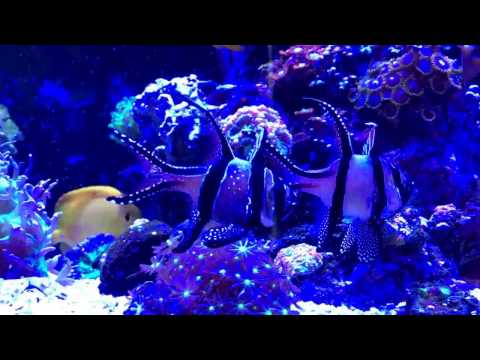 Banggai Cardinalfish Egg Transfer