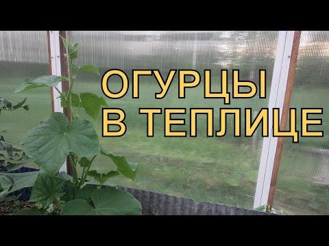 Выращивание ОГУРЦОВ в ТЕПЛИЦЕ. ПОЛИВ, ПОДКОРМКИ, УСЛОВИЯ роста