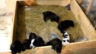 9 щенков русского спаниеля   2